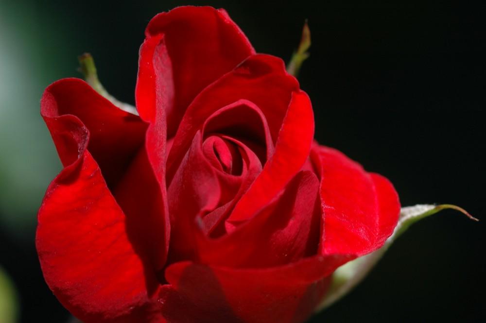 Rosenpflege – wenn der Frühling an die Türe klopft